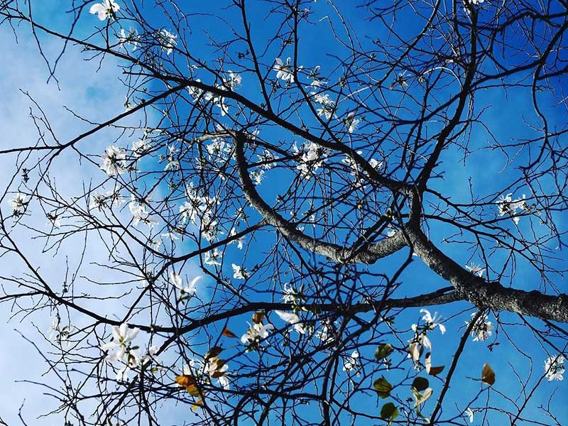 mùa hoa ban trắng đà lạt