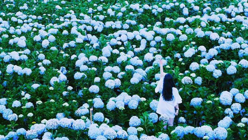 Mùa hoa Cải Trắng Mộc Châu Đà Lạt